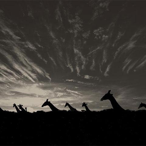 ssstendhal arte profundidad de campo giraffs in etosha pan gerth mario 04
